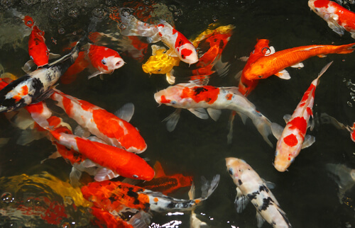 Best Practices for Quarantining Pond Fish