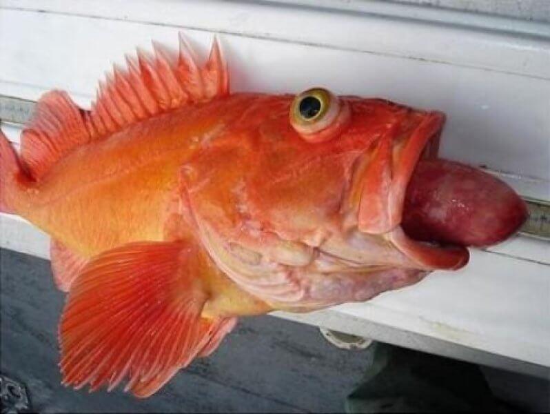 Fish Disease Spotlight: Exophthalmia