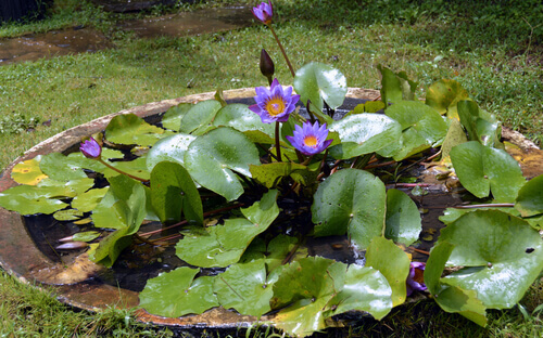 Fancy Water Lilies In Your Pond?
