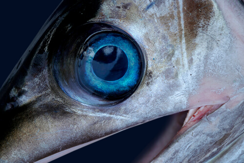 Fish Disease Spotlight: Cloudy Eyes