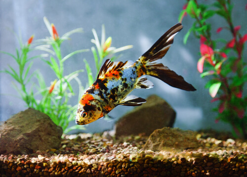Fish Disease Spotlight: Columnaris