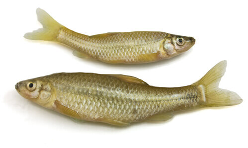 Fish Disease Spotlight: Fish Tuberculosis