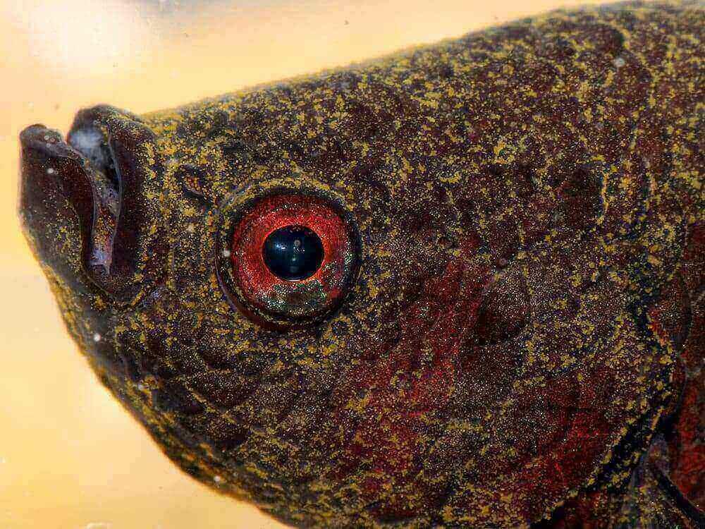 Fish Disease Spotlight: Velvet Disease