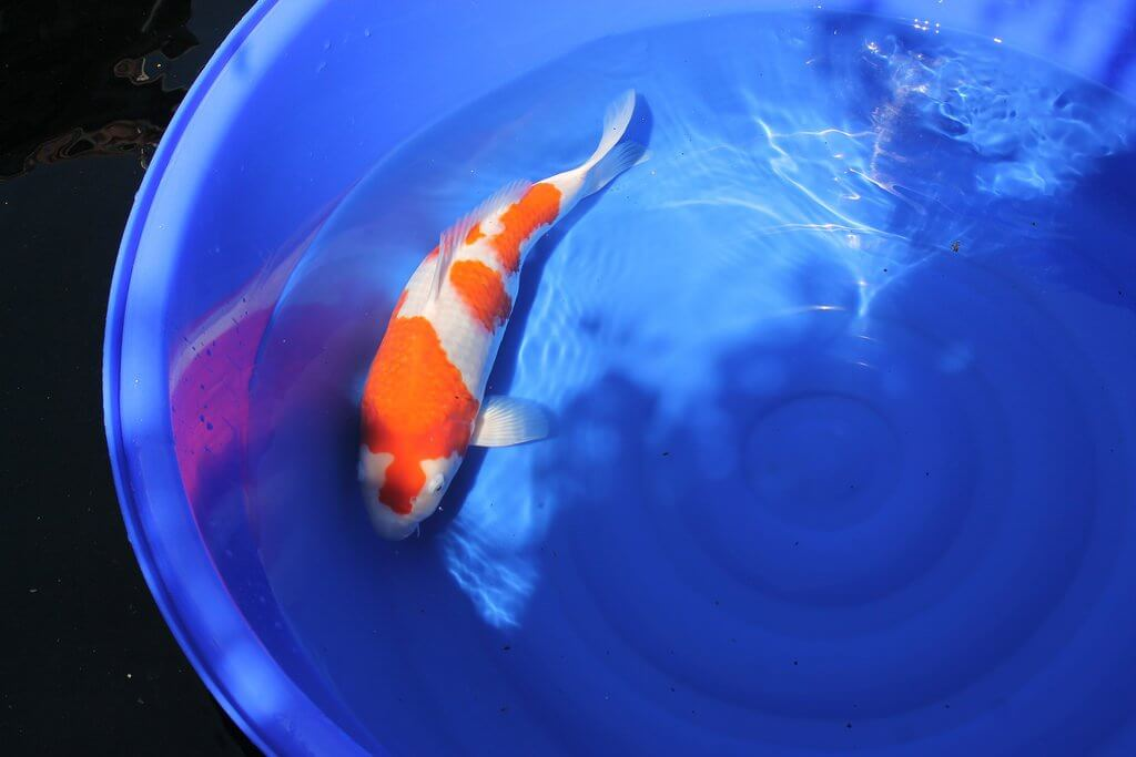 Getting To Know The Gin Rin Koi