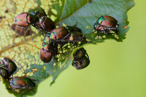 How To Prevent Japanese Beetles From Damaging Your Pond