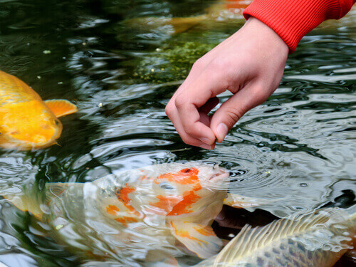 Introducing Koi To Your Pond During Fall