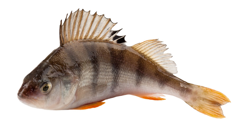 Pond Fish Spotlight: Perch