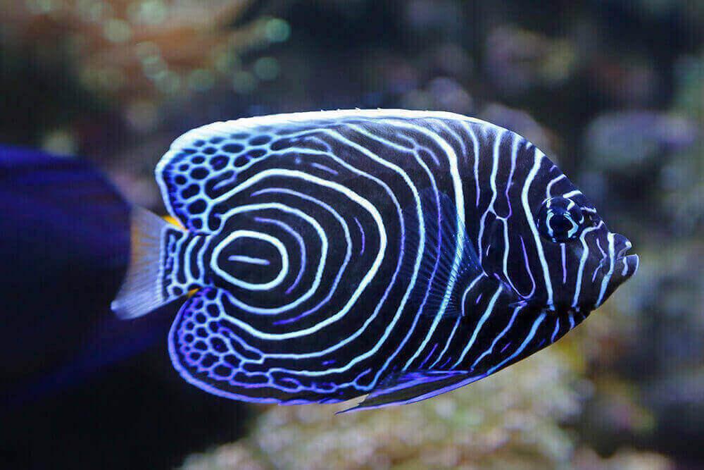 Pond Fish Spotlight: Angel Fish