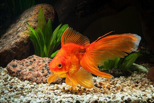 Pond Fish Spotlight: Fantail