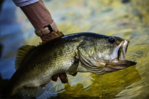 Pond Fish Spotlight: Largemouth Bass
