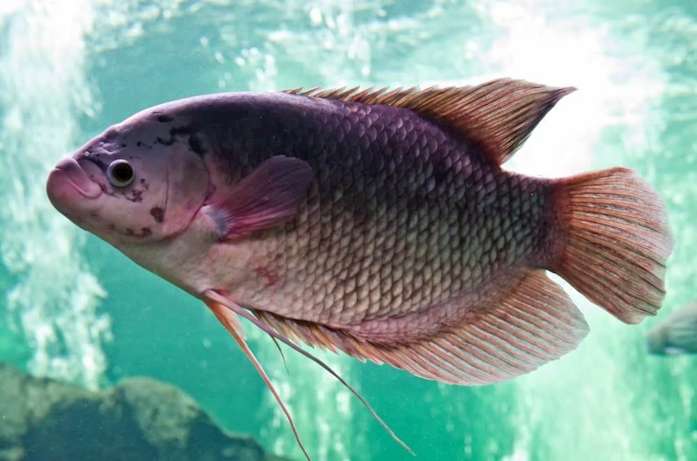 Pond Fish Spotlight: Mozambique Tilapia