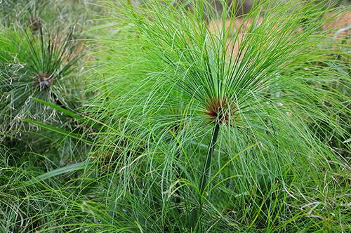 Pond Plant Spotlight: Papyrus