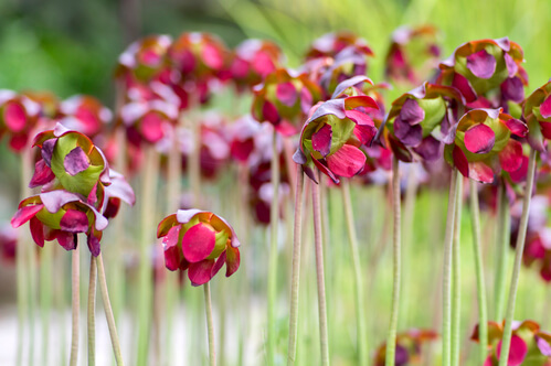 Pond Plant Spotlight: Purple Pitcher Plant