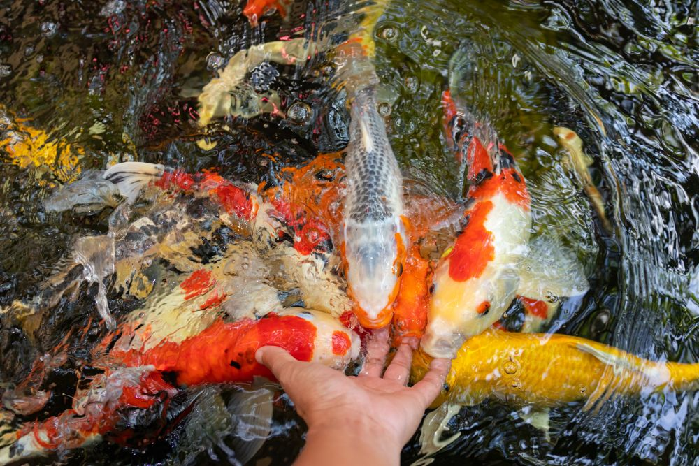 Top Koi Fish Breeds You Can Find At Fitz's Fish Ponds