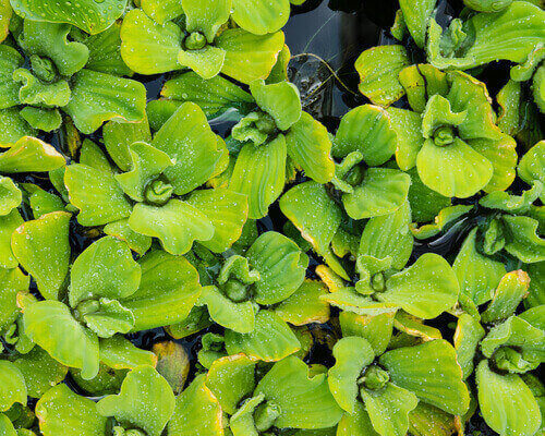 Can Water Lettuce Be Kept Indoors During Winter?