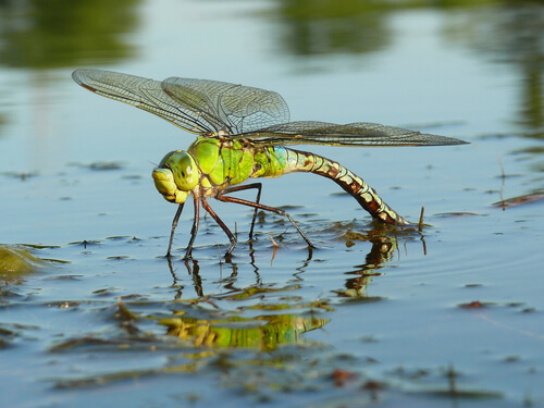 Why Dragonflies Are Important For Ponds