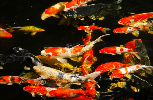 Why Pond Fish Sometimes Become Dormant