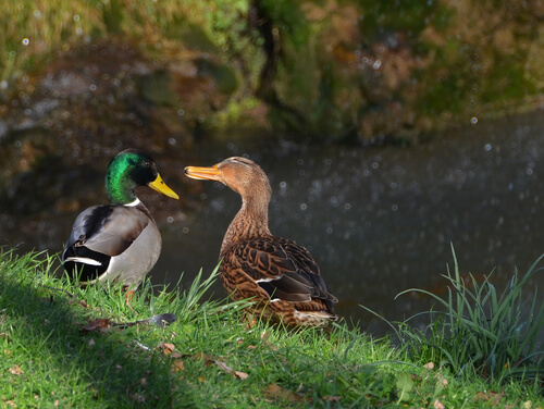 How To Attract Ducks To Your Natural Pond