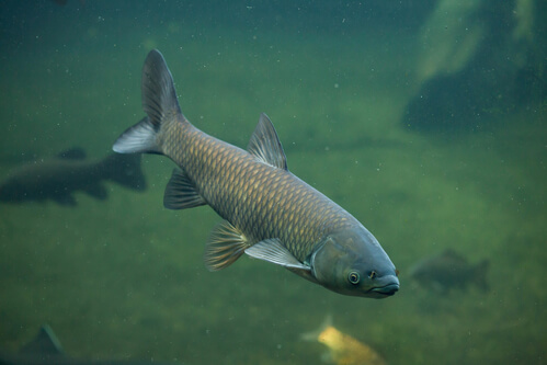 Should You Get Grass Carp For Your Pond?