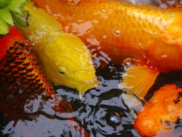 How Big Can Koi Carps Grow?