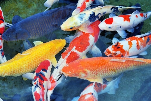 Common Koi Diseases To Watch Out For