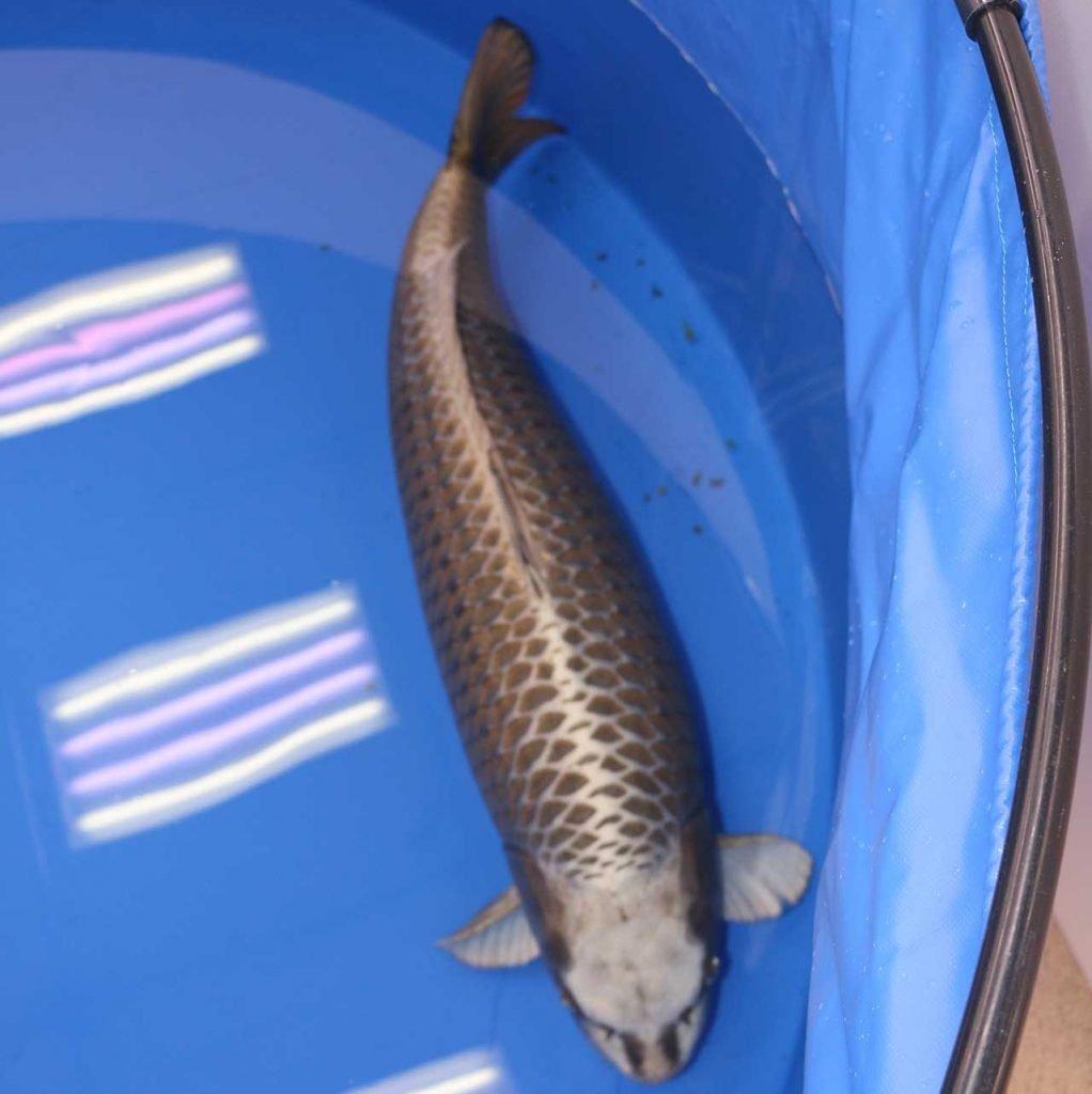 Koi Tripsall Japan Koi Fish