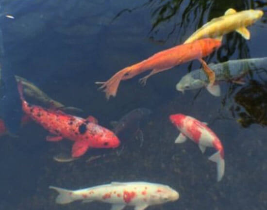 Top Fish Care Questions Asked By Pond Owners