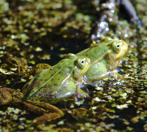 Attracting Frogs To Your Pond