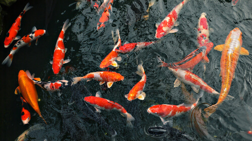Protecting Pond Fish From Extreme Heat